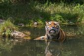 Tiger taking a bath at hot summer day