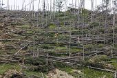 Forest Of Fallen Spruce Trees