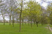 Trees In Regent's Park, London