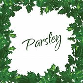 Parsley on a white background. Vector green frame of greenery.