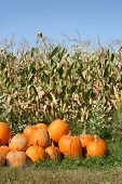Group Of Pumpkins In A Field Of Corn