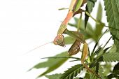 A Female European Preying Mantis, guards her Female Cannabis Sativa Medical Marijuana Plant from oth