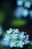 Forget me not flowers made with color filters. Soft spring summer retro flower background