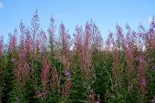 Pink scottish wildflowers