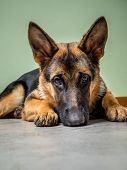 picture of alsatian  - German Shepherd puppy posing lying down on the floor - JPG