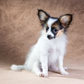 stock photo of epagneul  - Portrait of a cute little puppy Papillon on a light brown background - JPG