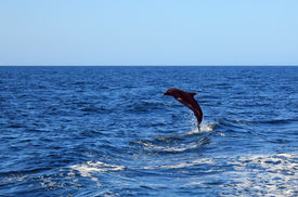 picture of bottlenose dolphin  - Common Bottlenose Dolphin (Tursiops Truncatus) Taking a Big Leap out of the Water Catalina Islands Costa Rica ** Note: Soft Focus at 100%, best at smaller sizes - JPG
