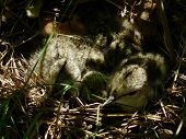 Spotted Squeaky Chicks In The Nest. Young Precocial Hidden In The Grass.