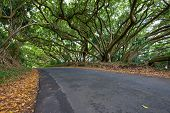 Tropcial tree canopy above a country road