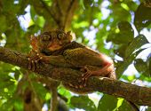 Phillipine Tarsier In Tropical Forest