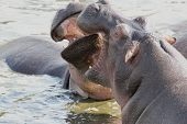 Male Hippos Fighting In A Pool