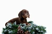 stock photo of long-haired dachshund  - Dachshund puppy brown color on a white isolated background - JPG