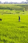 Workers On Rice Fields, Bali, Indonesia