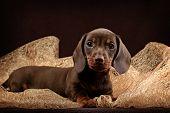 Dachshund puppy brown background
