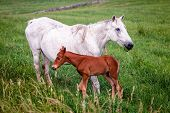 Mother horse with her colt on a farm in Central Kentucky
