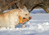 Yellow Labrador In Winter Running With An Orange Toy
