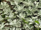 Decorative-deciduous Plant Cineraria
