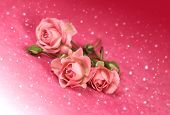 Beautiful Flowers Rose