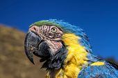 Ara parrot with colorful blue and yellow feathers
