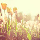 Tulips in a city park at sunrise Kiev