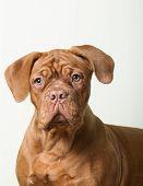 Purebred puppy red dog