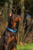 Doberman sitting outdoor