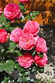 picture of rosa  - Flower of rosa odorata in the flowerbed - JPG