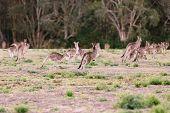 Herd Of Kangaroos Run Away