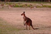Unique Looking Kangaroo At Twilight