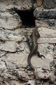 Iguana climbing rock face of ruin wall