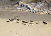 Sandpipers running along the coastal shoreline