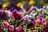 Color Pancy Flower