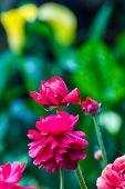 Pink Persian Buttercup Flower (ranunculus Asiaticus)
