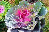 Decorative purple cabbage or kale, Brassica oleracea