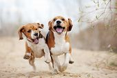 Two Funny Beagle Dogs Running