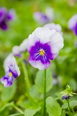 Field Of White And Purple Pansy Flowers