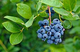 image of cluster  - Ripe blueberry cluster on a blueberry bush - JPG
