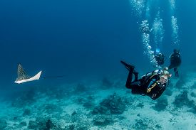 stock photo of fish-eagle  - A juvenile Spotted Eagle Ray and a group of SCUBA divers - JPG