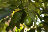 pic of avocado tree  - Close up of Avocados growing on tree - JPG