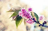 stock photo of cherry  - Beautiful cherry tree flowers - JPG