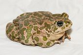 picture of ugly  - Big Ugly Frog Common European Toad Bufo - JPG