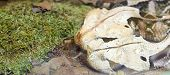 picture of genova  - viper of gabon in a museum in genova - JPG