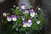 pic of may-flower  - Wild pansy or Heartsease flowers closeup blossoming in May - JPG