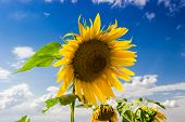picture of cumulus-clouds  - Flower of sunflowers against the blue sky with cumulus clouds
