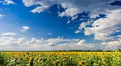 picture of cumulus-clouds  - Blue sky with cumulus clouds over a field of sunflowers