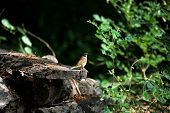 foto of rotten  - a little lone brown bird perched on a rotten wood - JPG