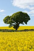 image of rape-seed  - Beautiful bright countryside in late Spring - JPG