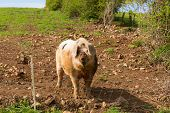 stock photo of pig-breeding  - Spotted pig with black spots standing in a farm field - JPG