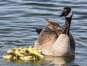 image of baby goose  - These Canadian goose goslings are less than one day old - JPG