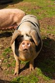 pic of pig-breeding  - Spotted pig with black spots standing in a farm field - JPG